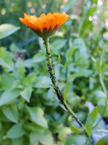 Blattläuse (Aphidoidea) an der Ringelblume (Calendula)