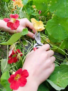 Remove the yellow leaves from the nasturtium (Tropaeolum majus)
