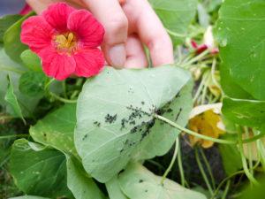 Blattläuse (Aphidoidea) an der Kapuzinerkresse (Tropaeolum majus)