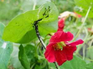 Aphids (Aphidoidea) on the nasturtium (Tropaeolum majus)