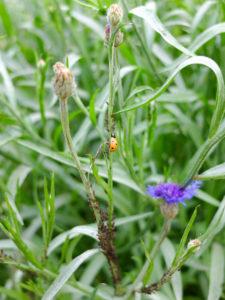 Blattläuse (Aphidoidea) und der Marienkäfer an der Kornblume (Centaurea cyanus)