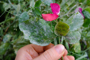 Sweet pea (Lathyrus odoratus) infested with powdery mildew (Erysiphaceae)