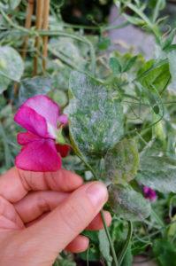 Duftwicke (Lathyrus odoratus) befallen mit Mehltau (Erysiphaceae)