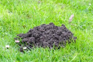Frischer Maulwurfshügel im Rasen