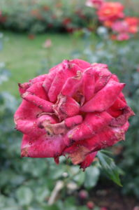Grauschimmel (Botrytis cinerea) auf den Blütenblättern, Freilandrose 'Nina Weibull'