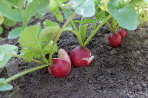 Burst radishes due to fluctuating water supply, 'Riesenbutter' variety