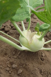 Split kohlrabi due to fluctuating water supply