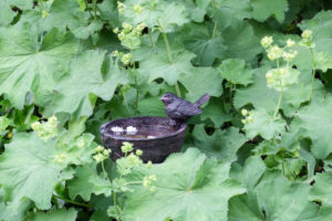 Small cast iron bird bath between lady's mantle leaves