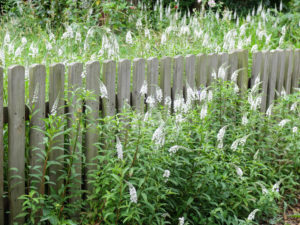 Snowflake (Lysimachia clethroides) on the wooden picket fence