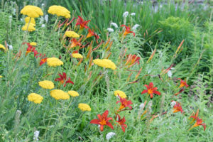 Autumnal flowerbed with daylilies (Hemerocallis hybrid) and yarrow (Achillea millefolium)