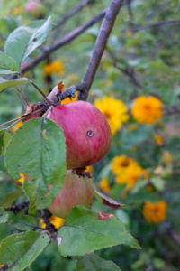Apple infested with codling moth (Cydia pomonella), damage pattern