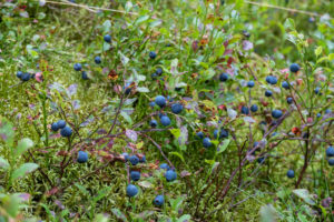 Wild blueberry (Vaccinium myrtillus) with ripe fruits