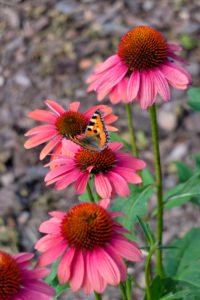 Red coneflower (Echinacea purpurea) with butterfly, small fox (Aglais urticae, syn .: Nymphalis urticae)