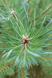 Forest pine (Pinus sylvestris L.), tip of the young shoot