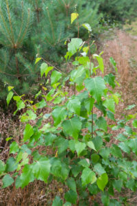 Sand birch (Betula pendula), 2-3 years old