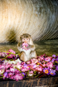 Monkey in the cave temple sniffs and plays with pink petals, Sri Lanka, Dambulla