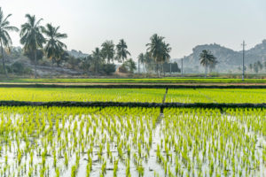 Paddy field with coconut palms in the background