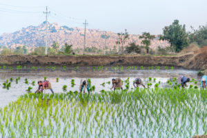 Indian women field workers working together on rice field