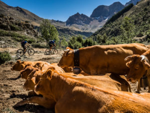 Mountain biking in the French High Pyrenees, cows in the foreground
