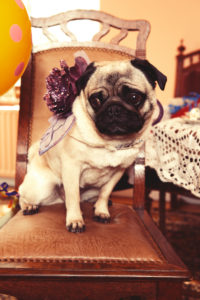 Big brown eyed and styled pug sitting on a chair