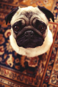 Big brown eyed pug sitting on a patterned carpet