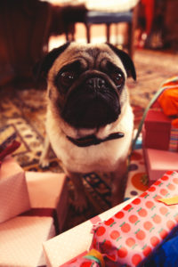 pug sitting on a patterned carpet on unpacking presents