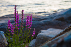 Vegetation on the shore, Stora Le Lake, Sweden
