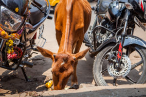 Heilige Kuh in Straßenszene, Madurai, Bundesstaat Tamil Nadu, Indien