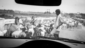 Indian shepherd with flock of sheep, Hassan District, Karnataka, India