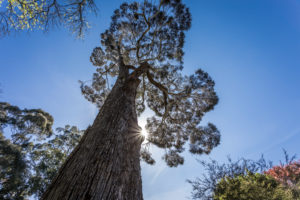 Big tree, Christchurch Botanic Gardens, New Zealand South Island