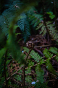 Silberfarn Koru im Woodland Walk Recreation Reserve, Hanmer Springs 7334