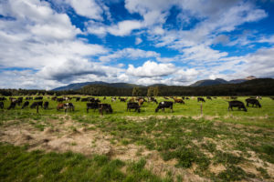 Cow meadow in front of mountain landscape, South Island New Zealand
