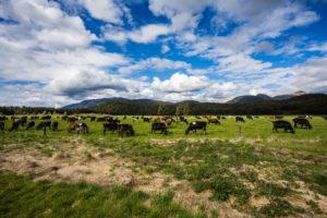 Kuhwiese vor Berglandschaft, Südinsel Neuseeland