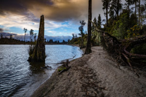 Tree root on Lake Brunner, South Island New Zealand