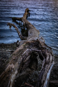Tree trunk on the shores of Lake Brunner, South Island New Zealand