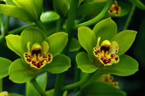 Orchid, Cymbidium spec., Detail, Blooms  Plant, flower, orchid plant, Orchideen-Hybride,  Cymbidie, hybrid, orchid blooms, blooms, prime, Floristik, flora, nature, finely, delicately, filigree, beauty