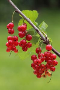 Red currants,
