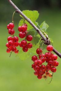 Rote Johannisbeeren,