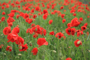 Poppy field, Papaver rhoeas