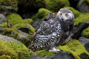 Snowy owl, young animal, bubo scandiacus