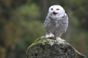 Snow owl is sitting on a stone, bubo scandiacus