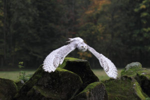 Snow owl while are flying, bubo scandiacus