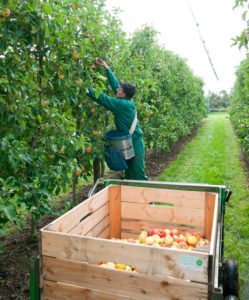 Man during apple harvest