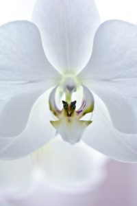 Orchid, white blossom, close-up,