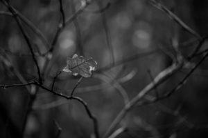 The last oak leaf at an oak in winter