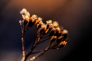 Blurred flower with frost in the morning light