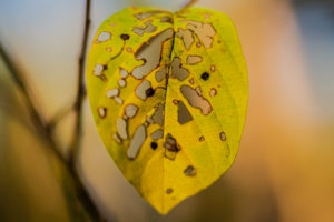 Leaves with gnawing traces on a tree in autumn