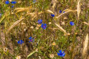 Grain field in summer with Blue cornflowers