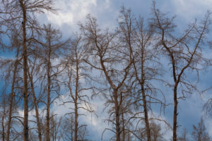 1 year after the forest fire in the vicinity of Pechüle by Treuenbrietzen, all the pines are death