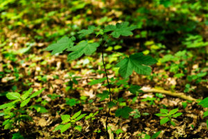 Small young maple tree in the forest in the summer in Germany